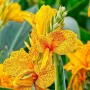 Canna enana golden Lucifer