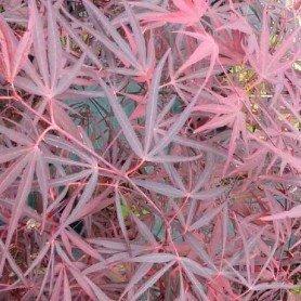 Acer palmatum Enkan