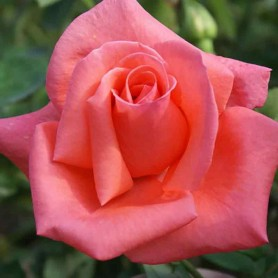 Rosal Harmonie