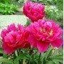 Peonia lactiflora Karl Rosenfield