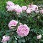 Peonia lactiflora Sarah Bernhardt