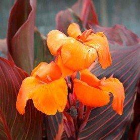 Canna enana naranja H/marrón 40 cms
