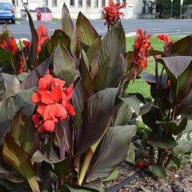 Canna enana roja H/marrón 40 cms