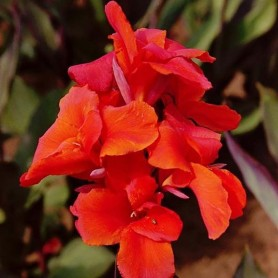 Canna indica Red King Humbert