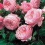 Rosa Spirit of Freedom T