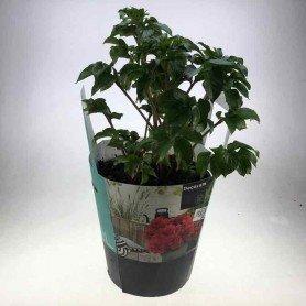 Peonia arbustiva roja extra