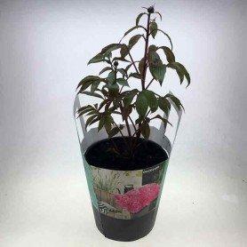 Peonia arbustiva rosa extra