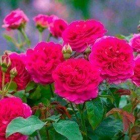 Rosa Grabiel Oak