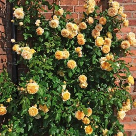 Rosa Crown Princess Margareta T