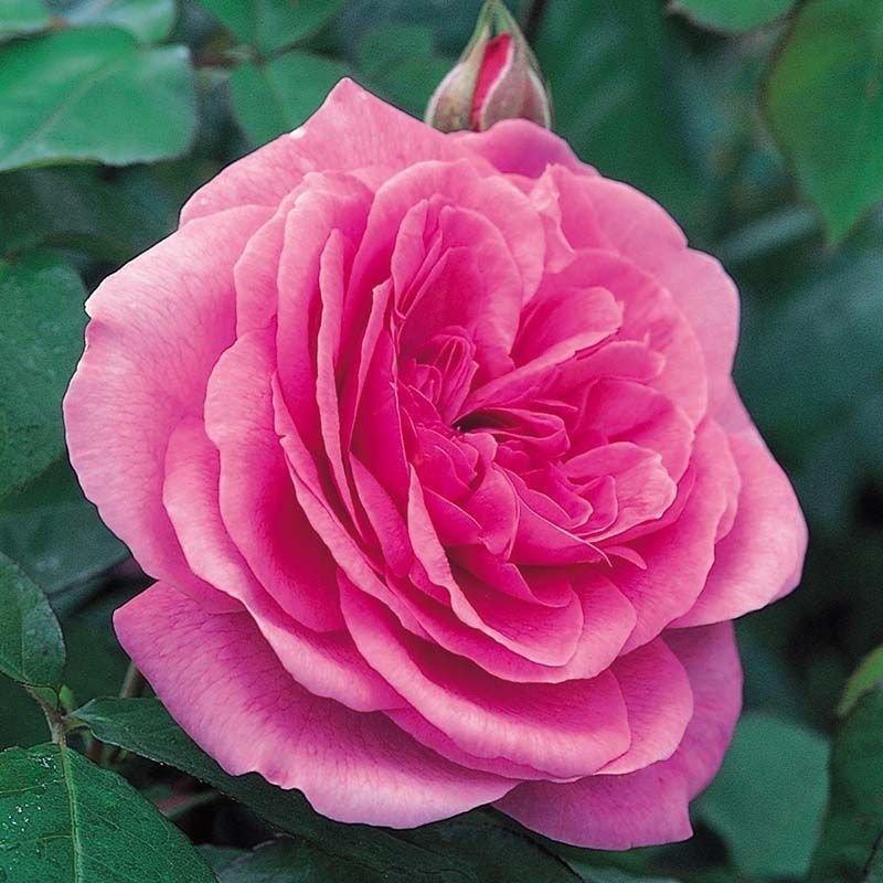 Rosa Gertrude Jekyll T