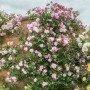 Rosa mortimer Sackler T