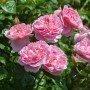 Rosa Strawberry hill  T