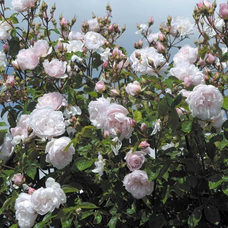 Rosa The Generous garden