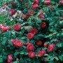 Rosa Benjamin Britten
