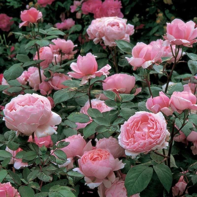 Rosa Brother cadfael