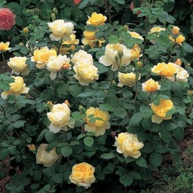 Rosa Charles darwin
