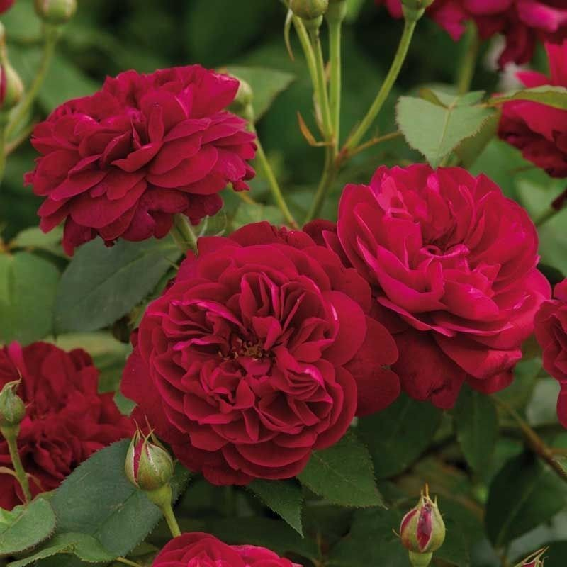 Rosa Darcey bussell