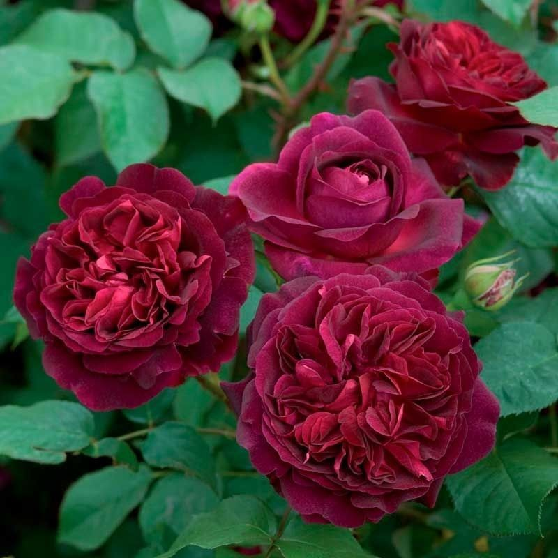Rosa Munstead Wood