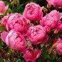 Rosa Royal Jubilee