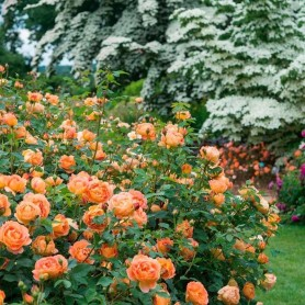 Rosa Lady of Shalott