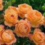 Rosa Lady of Shalott
