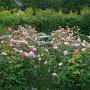 Rosa The Alnwick rose
