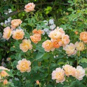 Rosa The Lark Ascending