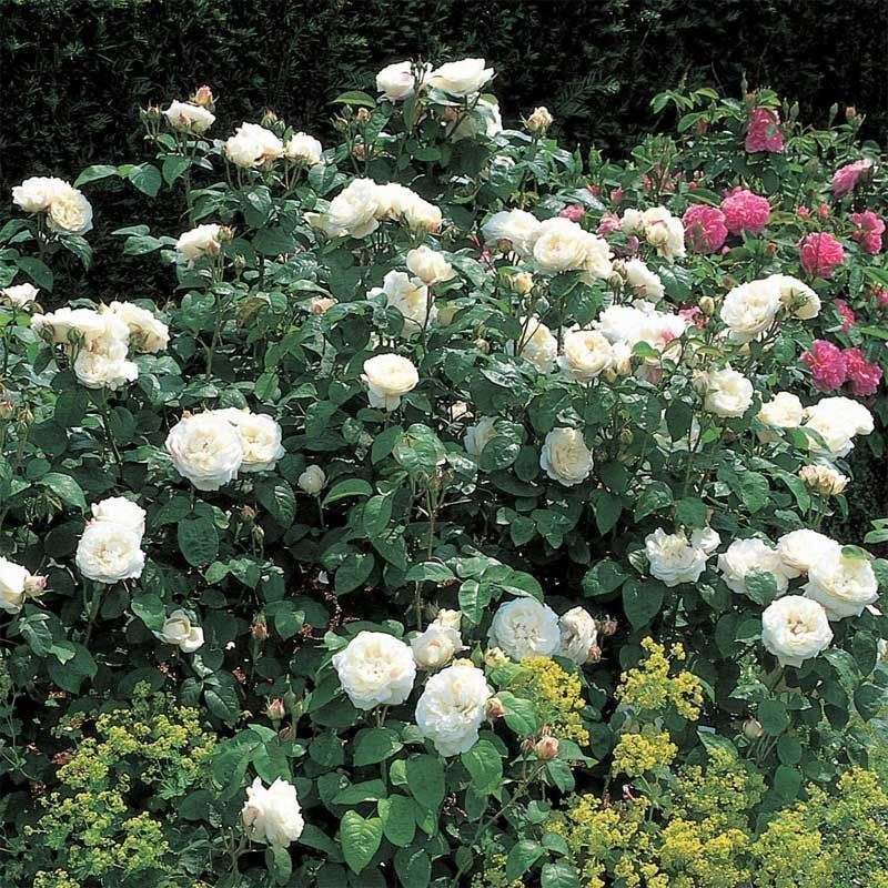 Rosa Winchester Cathedral
