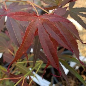 Acer palmatum Villa Taranto