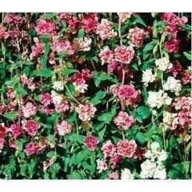 Clarkia de flor doble variada