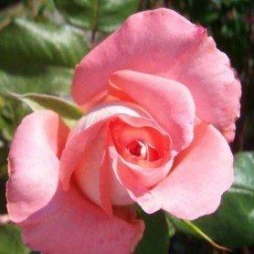 Rosa Prestige de Lyon