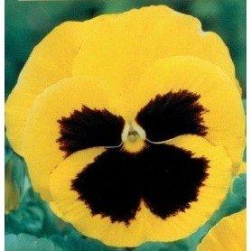 Pensamiento flor grande amarillo