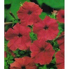 Petunia enana roja