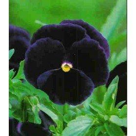Pensamiento flor grande violeta