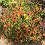Portulaca grandiflora simple