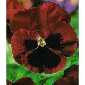 Pensamiento flor grande roja