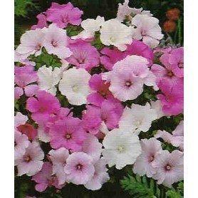 Malva florida variada
