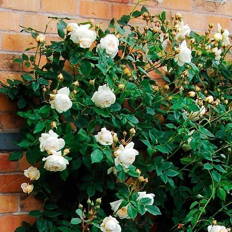 Rosa Claire Austin T
