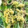 Uva de mesa Moscatel Temprano