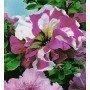 Petunia seperbissima variada