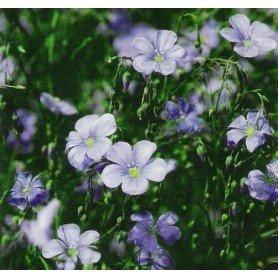 Lino vivaz azul