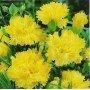 Clavel chabaud amarillo