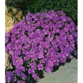 Aubrieta purpura
