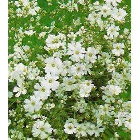 Gipsofila paniculata blanca 1,5 g