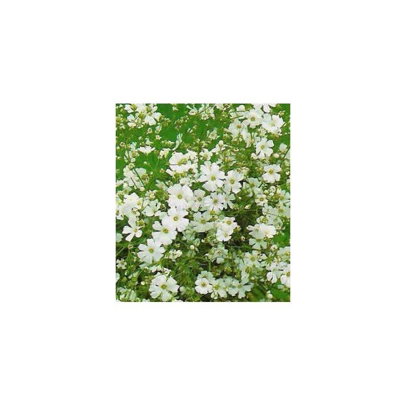 Gipsofila paniculata blanca