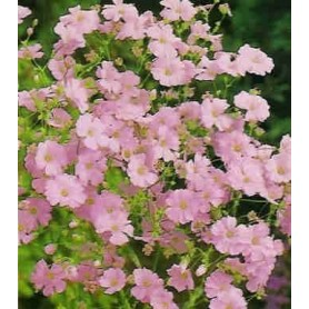 Gipsofila rosa 2 g