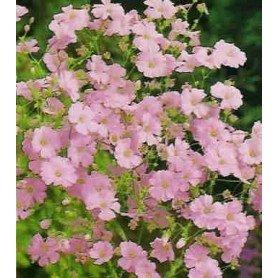 Gipsofila rosa