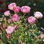 Rosal mini Blush Pixie®