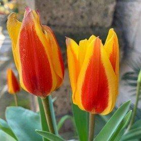 Bulbos. Tulipan Stresa 8 ud
