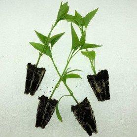 Planta de pimiento Tipo Toledo 15 ud
